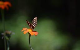 Gestreepte Longwing-vlinder stock foto's