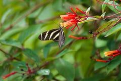 Gestreepte Longwing-vlinder Stock Afbeelding