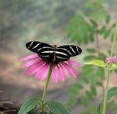 Gestreepte Longwing-Vlinder en flowr Stock Foto's