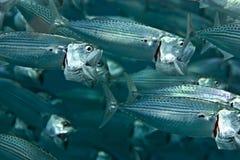 Gestreepte makreel (rastrelliger kanagurta) stock fotografie