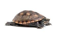 Gestreepte Modderschildpad (Kinosternon Baurii) Stock Foto's