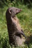 Gestreepte mongoes Royalty-vrije Stock Foto's