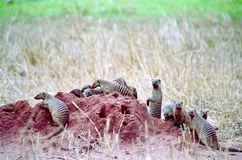 Gestreepte mongoes Stock Foto