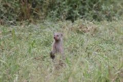 Gestreepte mongoes Stock Afbeeldingen