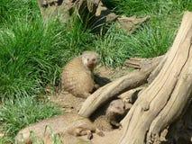 Gestreepte mongoes Royalty-vrije Stock Fotografie