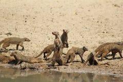 Gestreepte mongoes, - Afrikaanse Band van Broers Royalty-vrije Stock Foto's