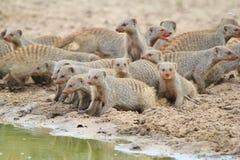 Gestreepte Mongoes - Afrikaanse het Wildachtergrond - Band van Broers Stock Fotografie