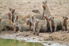 Gestreepte Mongoes - Afrikaanse het Wildachtergrond - Gestreepte Broers Royalty-vrije Stock Fotografie