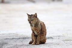 Gestreepte oranje kattenzitting op de concrete grond een klein geacclimatiseerd vleesetend zoogdier met zacht bont stock afbeelding