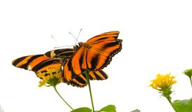 Gestreepte Oranje phaetusa van vlinderdryadula stock foto's