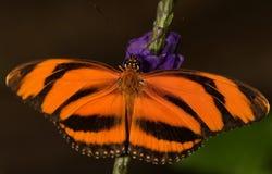 Gestreepte Oranje Vlinder royalty-vrije stock afbeeldingen
