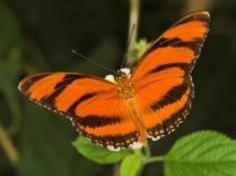 Gestreepte oranje vlinder Royalty-vrije Stock Foto