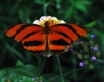 Gestreepte Oranje Vlinder Stock Foto