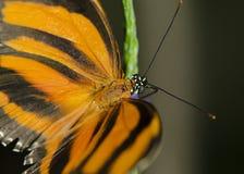 Gestreepte Oranje Vlinder stock afbeelding