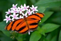 Gestreepte oranje vlinder Royalty-vrije Stock Foto's