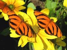 Gestreepte Oranje Vlinders Royalty-vrije Stock Afbeelding