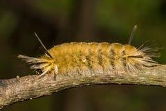 Gestreepte Polmot Caterpillar royalty-vrije stock foto