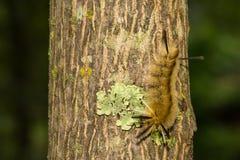 Gestreepte Polmot Caterpillar stock fotografie