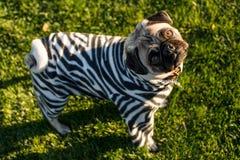 Gestreepte Pug Royalty-vrije Stock Foto's