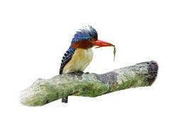 Gestreepte pulchella van Lacedo van de Ijsvogel Royalty-vrije Stock Foto's