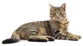 Gestreepte rasechte kat Stock Afbeelding