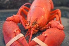 Gestreepte rode zeekreeft stock fotografie