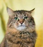 Gestreepte Siberische kat Royalty-vrije Stock Foto's