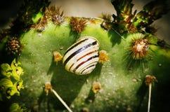 Gestreepte Slak bij Cactus Royalty-vrije Stock Foto