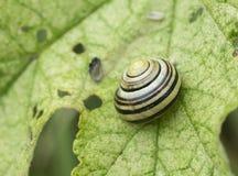 Gestreepte slak op een groen esdoornblad stock afbeeldingen