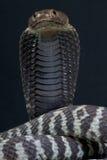 Gestreepte spuwencobra/Naja-nigricincta Royalty-vrije Stock Afbeeldingen