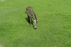 Gestreepte status op het groene gras Stock Foto