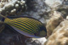 Gestreepte surgeonfish (Acanthurus-lineatus) Royalty-vrije Stock Afbeeldingen