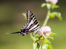Gestreepte Swallowtail (3 royalty-vrije stock foto
