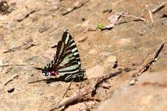Gestreepte Swallowtail (Eurytides marcellus) Royalty-vrije Stock Afbeeldingen