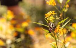 Gestreepte swallowtailvlinder, Eurytides marcellus royalty-vrije stock fotografie