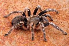 Gestreepte Tarantula stock afbeelding