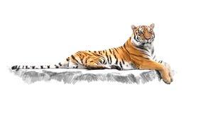 Gestreepte tijger, die op de rotsen ligt Stock Afbeeldingen