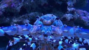 Gestreepte tropische overladen doornige rotszeekreeft of krab stock videobeelden