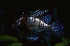 Gestreepte tropische vissen Stock Foto's