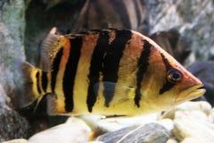 Gestreepte Vissen Stock Afbeeldingen