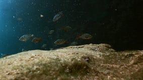 Gestreepte vissen in Mexicaanse cenote van Yucatan van het struikmeer stock videobeelden