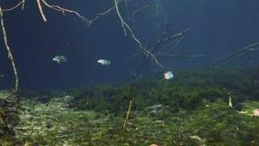 Gestreepte vissen in struikmeer Yucatan Mexico cenote stock video