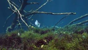 Gestreepte vissen in struikmeer Yucatan Mexico cenote stock videobeelden
