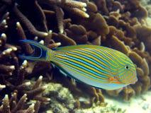 Gestreepte Vissen Surgeaon Stock Afbeeldingen