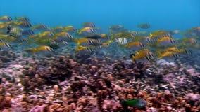 Gestreepte vissenondiepte op een blauwe achtergrond van water in oceaan op de Galapagos stock footage