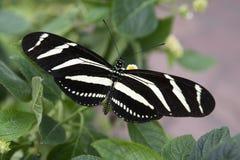 Gestreepte vlinder Stock Foto's