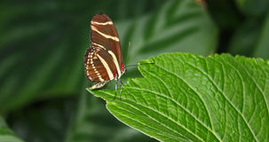 Gestreepte vlinder Stock Foto