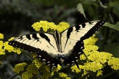 Gestreepte vlinder Swallowtail Stock Afbeeldingen