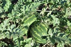 Gestreepte watermeloen Royalty-vrije Stock Foto's