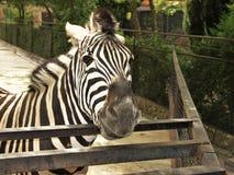 Gestreepte Zebra Royalty-vrije Stock Foto's
